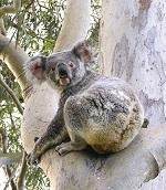 Koala pic 1